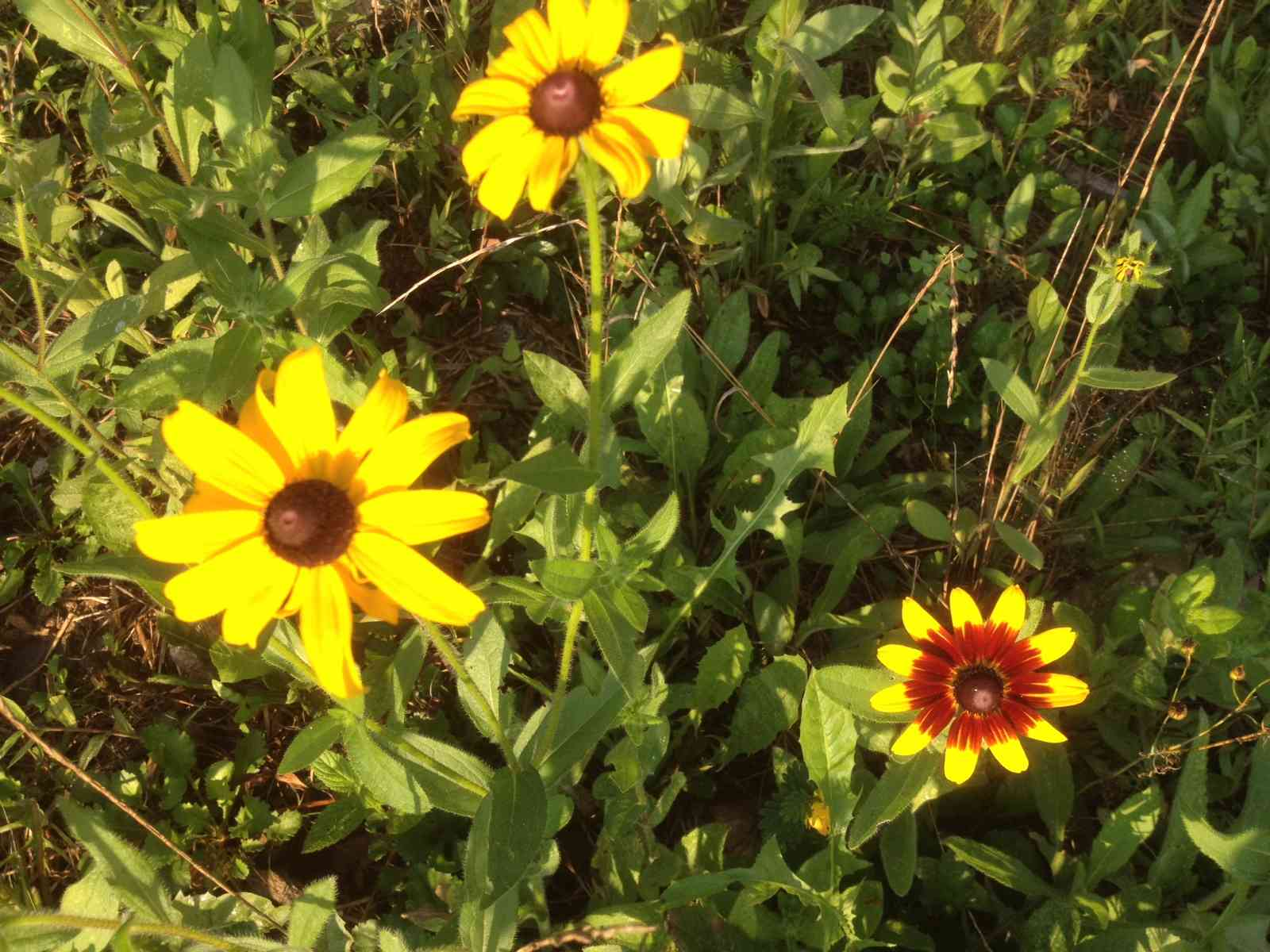 Browned eyed susan is one of the many wild flowers here
